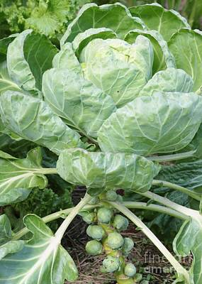 Brussels Sprouts Art Print by Carol Groenen