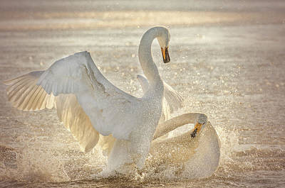 Swan Wall Art - Photograph - Brutal Swan Fight by Libby Zhang