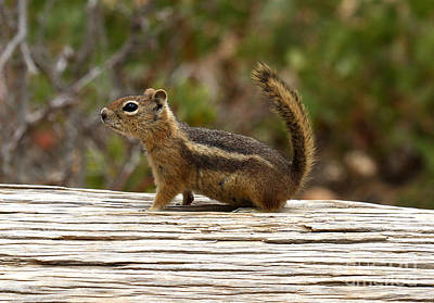 Photograph - Bryce Canyon Wildlife by Butch Lombardi