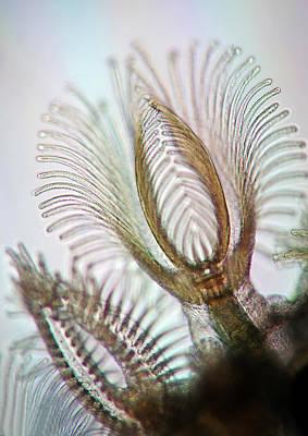 Filter Feeder Photograph - Bryozoans by Marek Mis