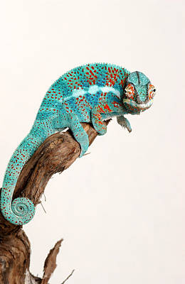 B.summers Panther Chameleon Print by Brian Summers
