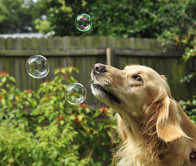 Photograph - Bubble Chaser Golden Retriever by Rebecca Brittain