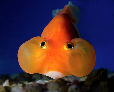Goldfish Photograph - Bubble Eye Goldfish by Nigel Downer