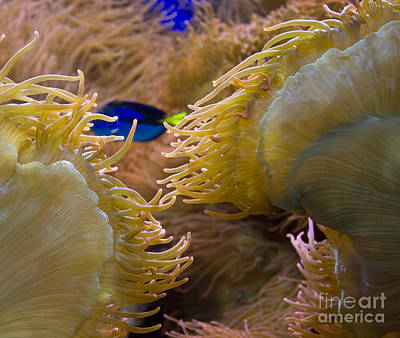 Photograph - Bubble Sea Anemone by Steven Parker