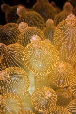 Sea Anemone Photograph - Bubble-tip Anemone by Ethan Daniels
