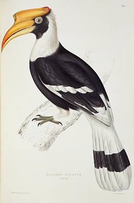 Hornbill Painting - Great Hornbill by John Gould