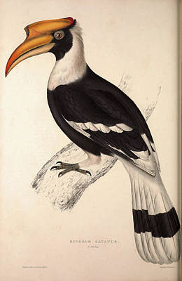 Hornbill Drawing - Buceros Cavatus,concave Hornbill. Birds From The Himalaya by Quint Lox