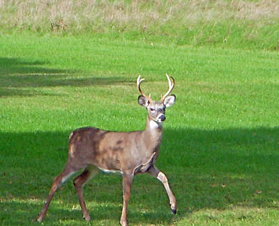 Deer Photograph - Buck by Aimee L Maher Photography and Art Visit ALMGallerydotcom