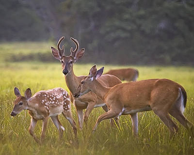 Photograph - Buck And Doe And Fawn At Sunset by Michael Dougherty