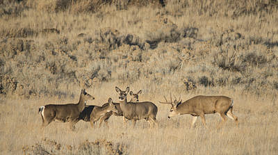 Photograph - Buck And His Harem by Loree Johnson