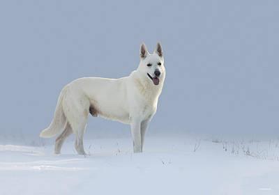 White German Shepherd Dog Photograph - Buck At Three by Ron Jones