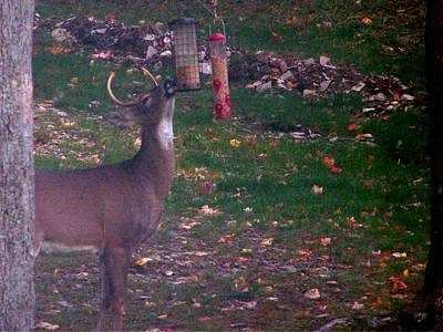 Photograph - Buck Checking Out Birdseed by Lila Mattison