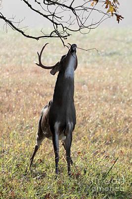 Mule Deer Herd Photograph - Buck Eating Acorns by Dwight Cook