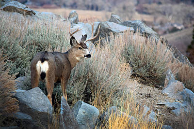 Photograph - Buck In Brush by Frank Wilson