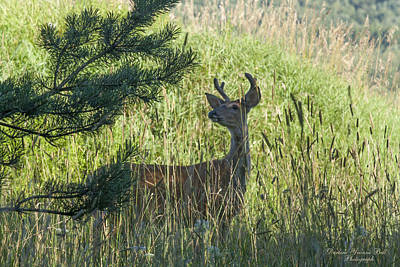 Photograph - Buck In Field by Darlene Bell
