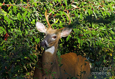 Photograph - Buck In Oliveberry II by Butch Lombardi