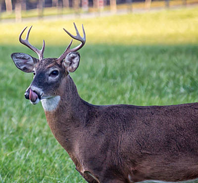 Buck Licking His Chops At Cades Cove Inside Of The Great Smoky Mountains National Park Art Print by Peter Ciro