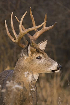 Buck Portrait Art Print by Larry Bohlin