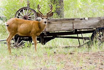 Steven Krull Royalty-Free and Rights-Managed Images - Buck Wagon by Steven Krull
