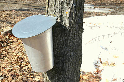Buckets For Collecting Maple Sap Art Print