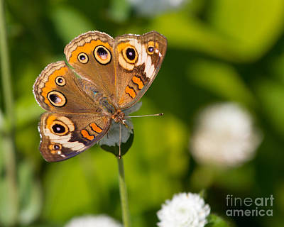 Photograph - Buckeye At Rest by Dale Nelson