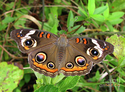 Art Print featuring the photograph Buckeye Butterfly by Donna Brown