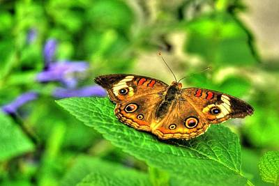 Print featuring the photograph Buckeye Butterfly by Ed Roberts