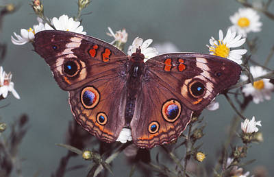 Photograph - Buckeye Butterfly by Harry Rogers