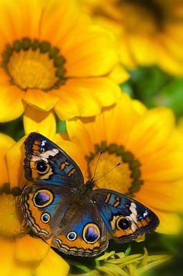 Buckeye Butterfly Photograph - Buckeye Butterfly In All It's Beauty  by Saija  Lehtonen