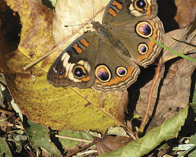 Photograph - Buckeye Butterfly by Melinda Fawver