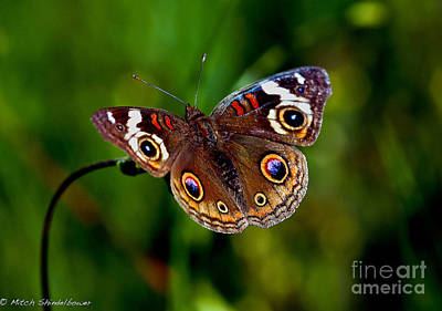 Art Print featuring the photograph Buckeye Butterfly by Mitch Shindelbower