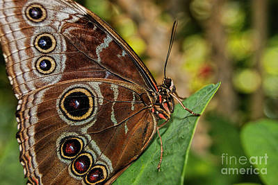 Art Print featuring the photograph Blue Morpho Butterfly by Olga Hamilton