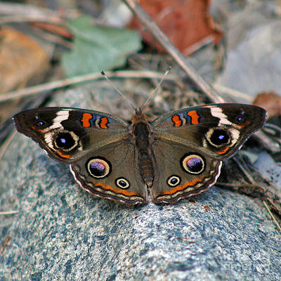 Photograph - Buckeye Butterfly On Rocks by Karen Adams