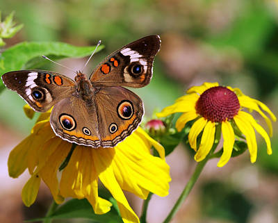 Traditional Bells Rights Managed Images - Buckeye Butterfly On Sunflower Royalty-Free Image by Charles Feagans