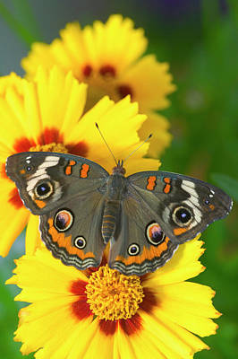 Buckeye Butterfly Photograph - Buckeye Butterfly With Eyespots by Darrell Gulin