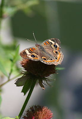 Buckeye Butterfly Photograph - Buckeye by Karen Silvestri
