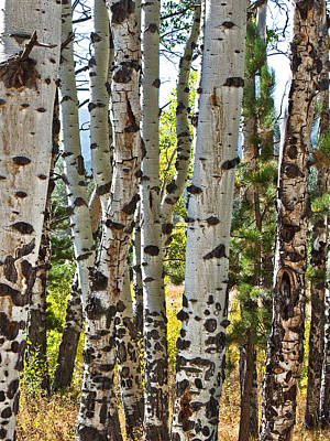 Photograph - Buckhorn Canyon And Poudre Canyon Aspen Trees by Posters of Colorado