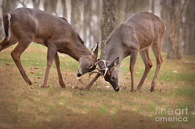 Bucks Fighting 2 Art Print by Brenda Bostic