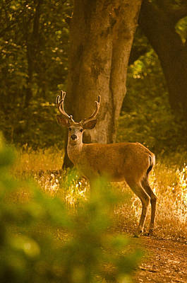 Photograph - Buck In The Golden Light by Sherri Meyer
