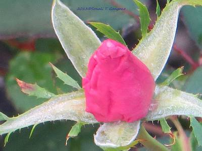 Have A Nice Day Photograph - Bud Called Rosy by Sonali Gangane