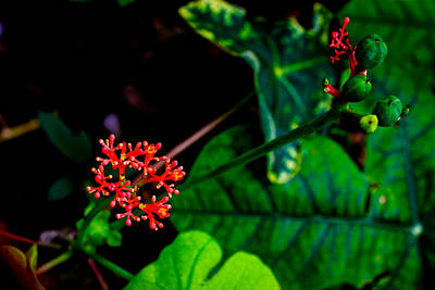 Photograph - Buddha Belly Plant 2 by Donald Chen