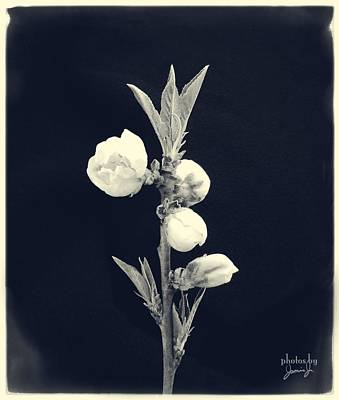 Photograph - Budding Apples by Jamie Johnson