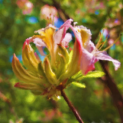 Photograph - Budding Azaleas by Joann Vitali