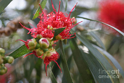 Photograph - Budding Callistemon Flower by Cassandra Buckley