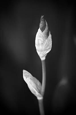 Photograph - Budding Iris by Patrick M Lynch