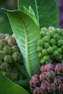 Photograph - Budding Milkweed by Dale Kincaid