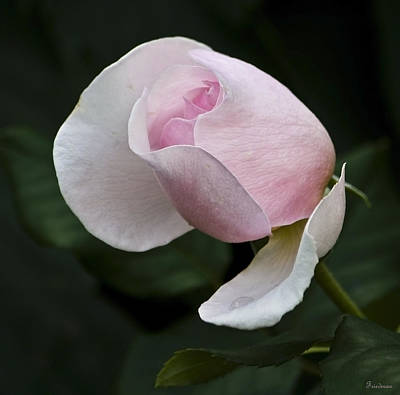 Photograph - Budding Pink Rose by Michael Friedman