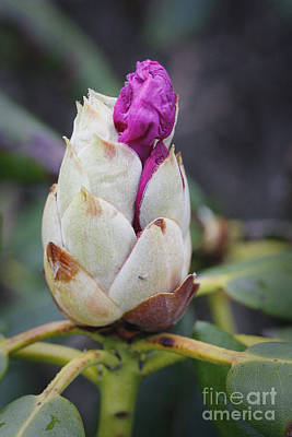 Budding Rhododendron Print by Jonathan Welch
