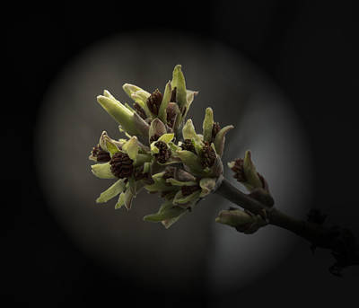 Photograph - Budding Spring by Kathleen Scanlan