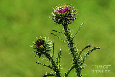 Photograph - Budding Thistle by Mary Carol Story